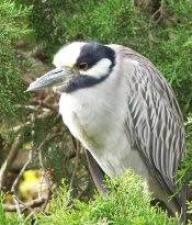 photo of yellow-crested night heron